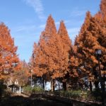 メタセコイア並木の紅葉の時期や見ごろ、混雑回避は朝9時まで!